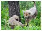 cheetah9338-Apr8_2014