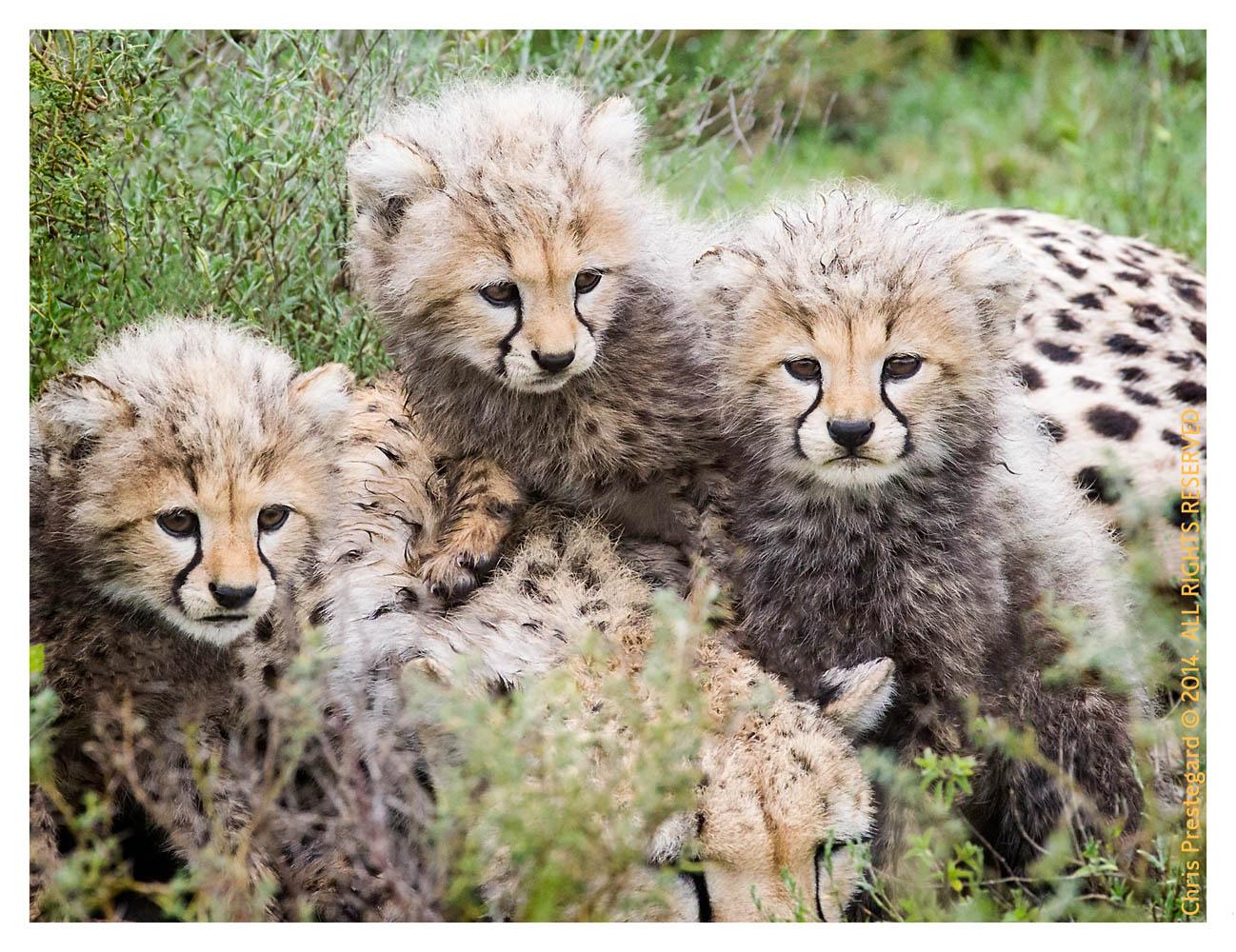 cheetah948-Apr7-2014