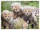 cheetah948-Apr7-2014