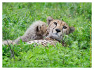 cheetah9876-Apr8-2014