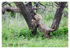 cheetah9916-Apr7-2014