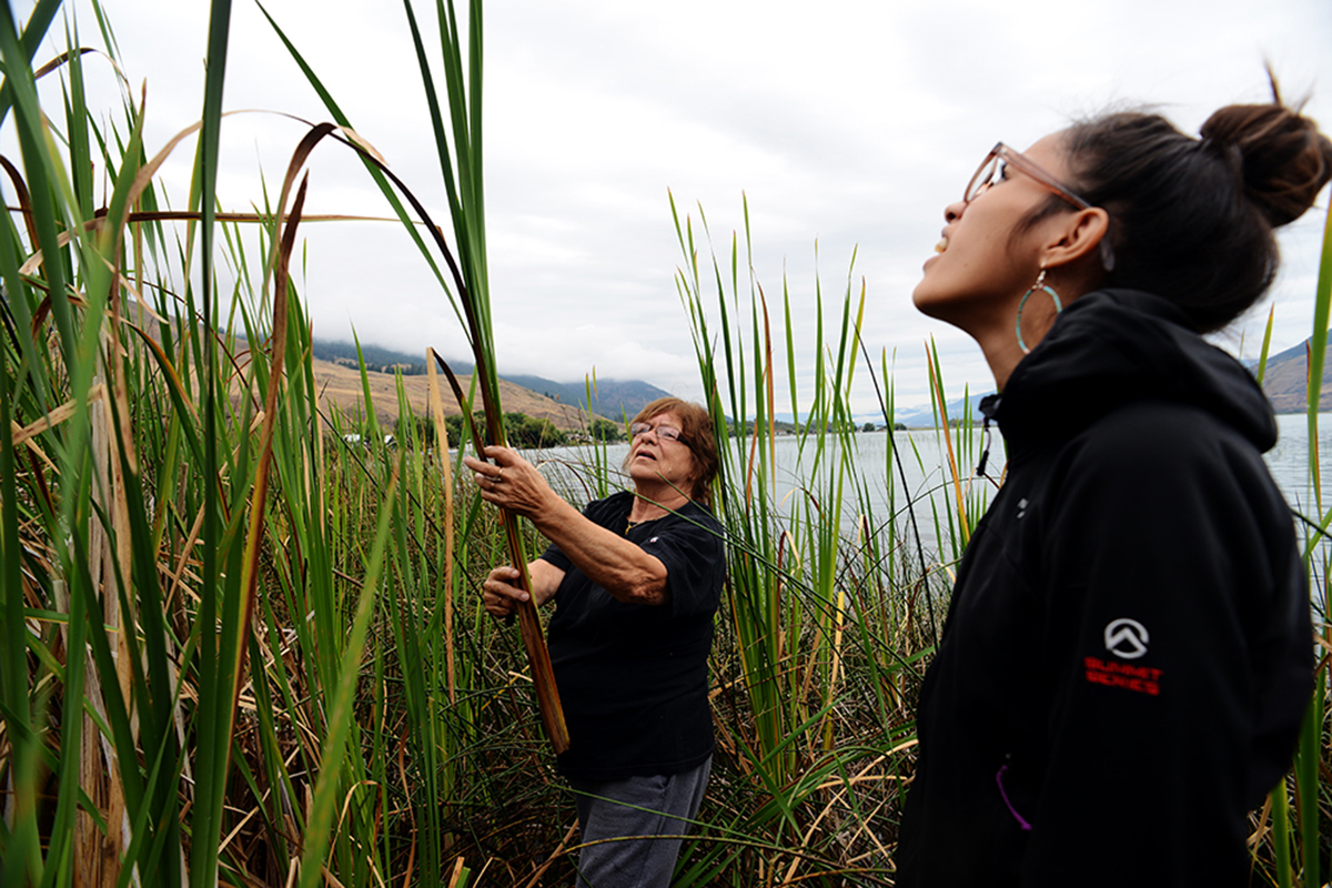 Syilx (Okanagan Nation) artist Barbara Marchand teaches the correct methond to collect Cattail and Tuli plants for use in weaving on the edge of Okanagan Lake.