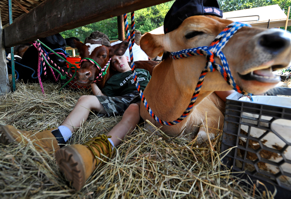 Dante Giusti, 8, of Bedford lays in the shade with his shorthorn steer, Brisket next to his friend's steer, Tornado during the Bolton Fair on Saturday, August 15, 2015.