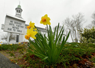 WELLFLEET - Daffodils stand tall on a dreary day in front of the shuttered First Congregational Church on Wednesday, April 8, 2020.