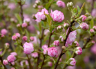TRURO -- Pink flowering almond at Bayberry Gardens & Landscaping on Wednesday, April 11, 2018. Christine Hochkeppel for the Provincetown Banner