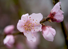 TRURO -- A young red haven peach tree blossom at Bayberry Gardens & Landscaping on Wednesday, April 11, 2018. Christine Hochkeppel for the Provincetown Banner
