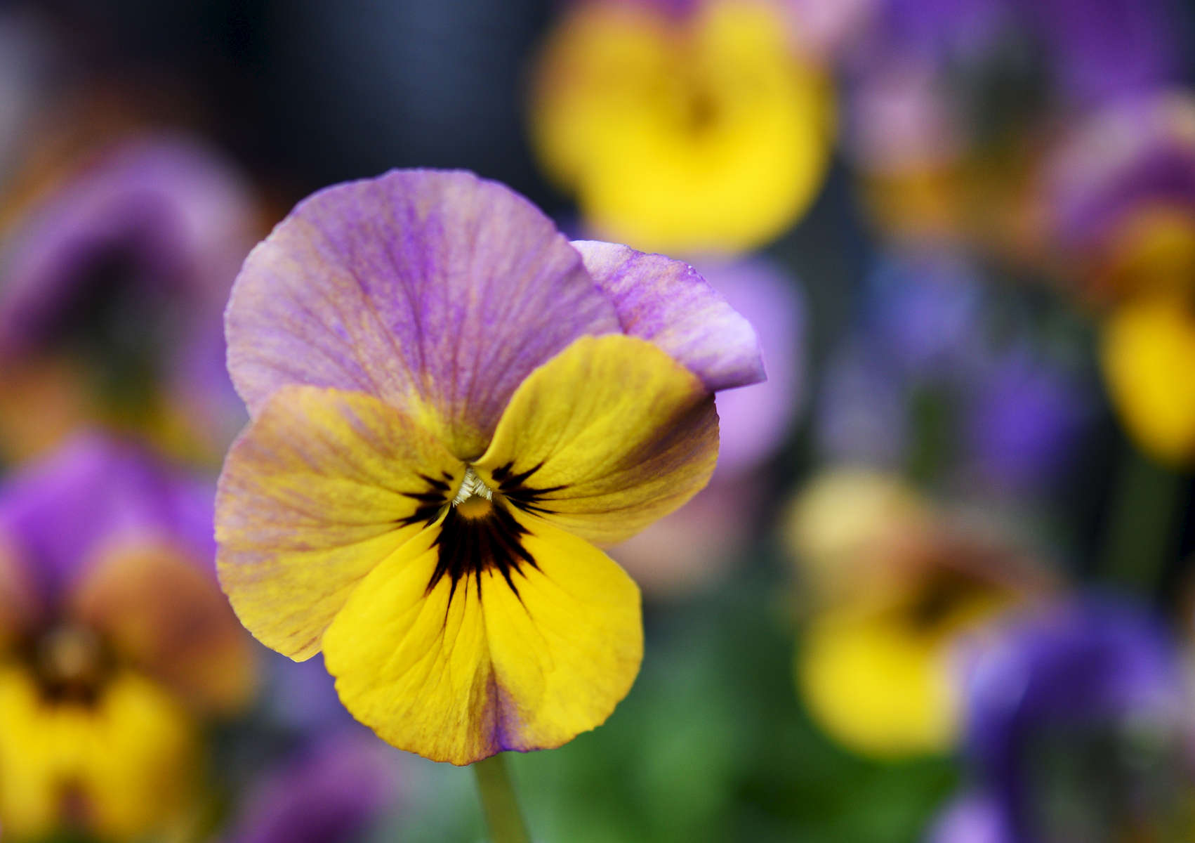 TRURO -- A colorful pansy shows off at Bayberry Gardens & Landscaping on Wednesday, April 11, 2018. Christine Hochkeppel for the Provincetown Banner