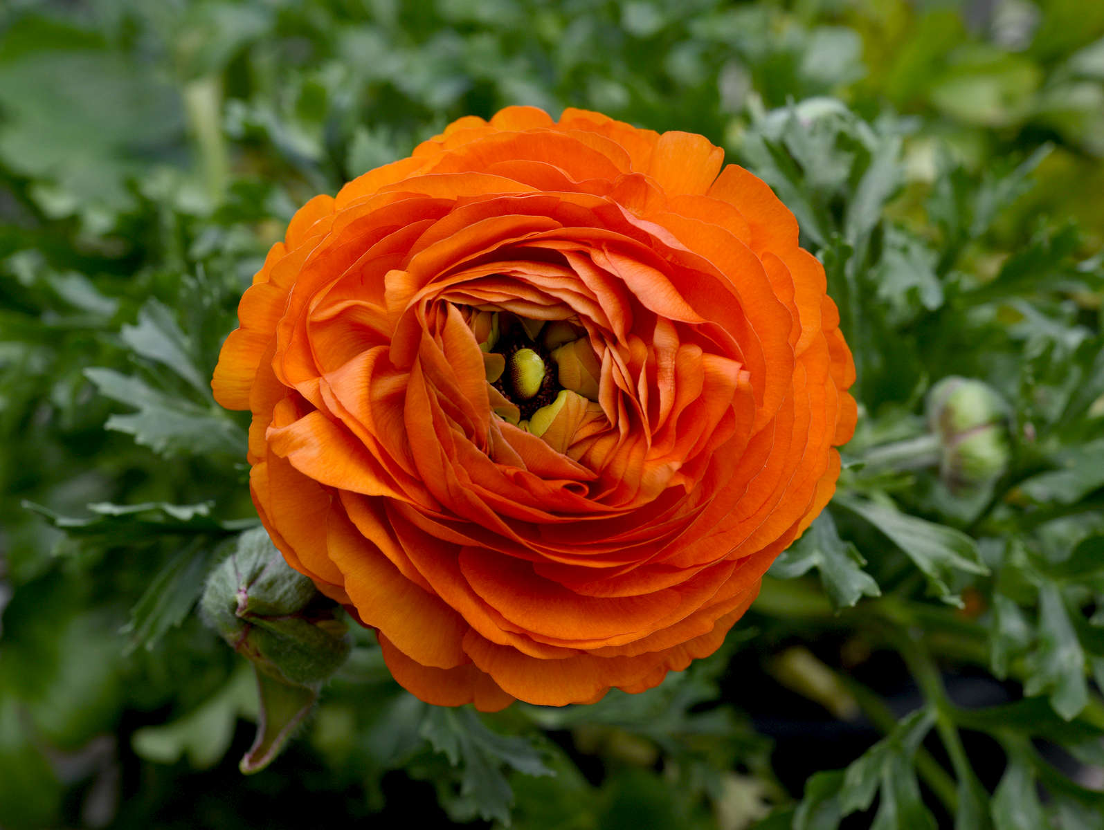 TRURO -- A mache orange ranunculus at Bayberry Gardens & Landscaping on Wednesday, April 11, 2018. Christine Hochkeppel for the Provincetown Banner