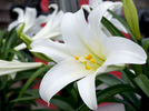 TRURO -- An Easter lily at Bayberry Gardens & Landscaping on Wednesday, April 11, 2018. Christine Hochkeppel for the Provincetown Banner