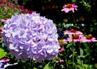 SANDWICH -  hydrangeas at Heritage Museum & Gardens, Monday, July 31, 2017. [T&G Staff/Christine Hochkeppel]