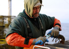 CAPE COD BAY  -- 1/07/2011 -- Greg Weeks, 48, bands the lobsters before putting them in the tank as his brother, Ken, 52, drives to the trawl.
