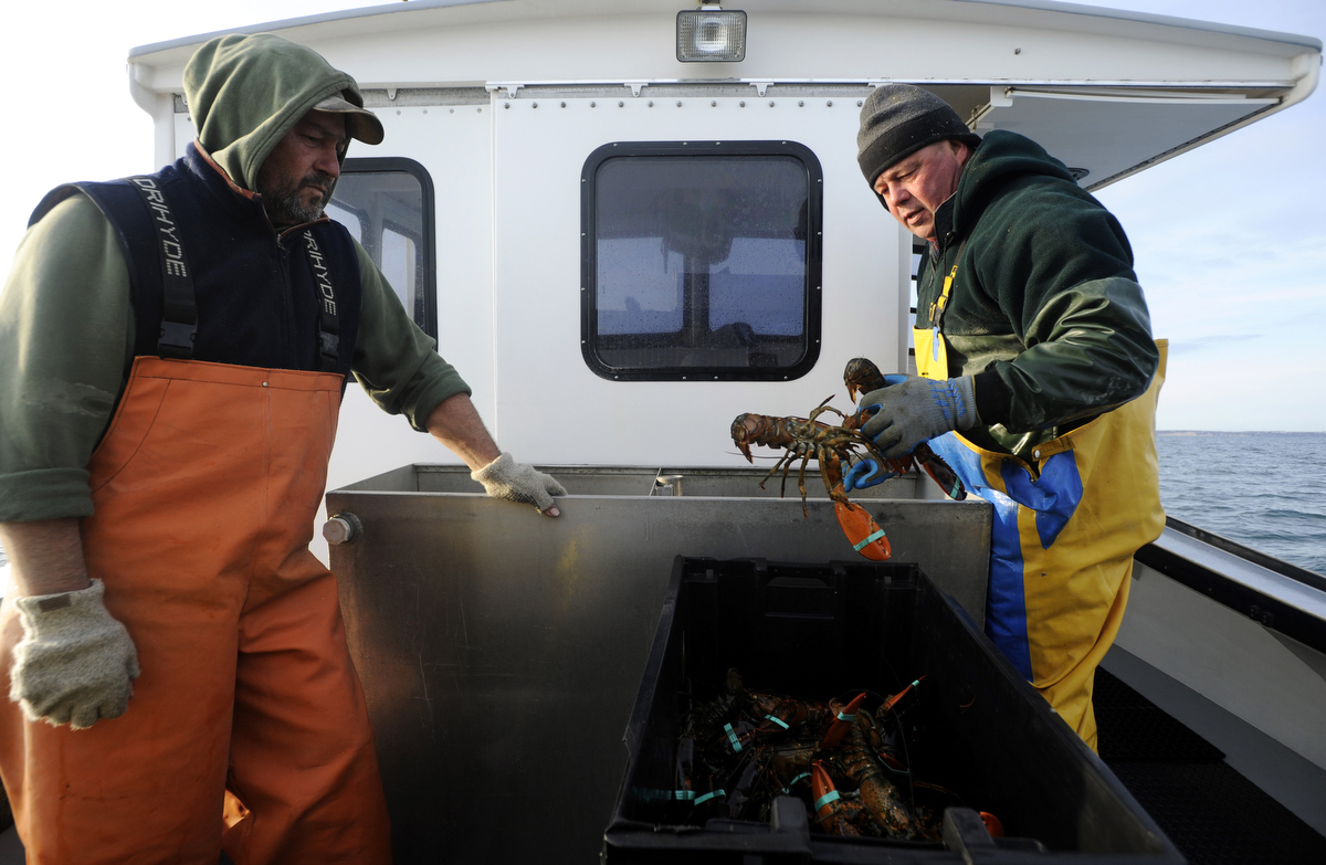 CAPE COD BAY  -- 1/07/2011 -- Ken Weeks, 52, loads their catch into a tote as his brother Greg, 48, looks on. The two came away with 26 lobsters from their last 50 pots on the season.
