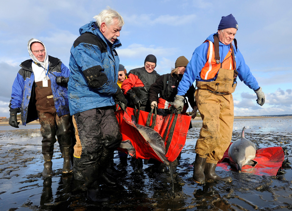 IFAW volunteers Swede Plaut of Wellfleet, left front, Mike Giblin of Eastham, right front, and John Beardsley of Wellfleet, rear far left, help fellow volunteers and staff move one of five dolphins found alive and stranded on Great Island in the gut of the Herring River.