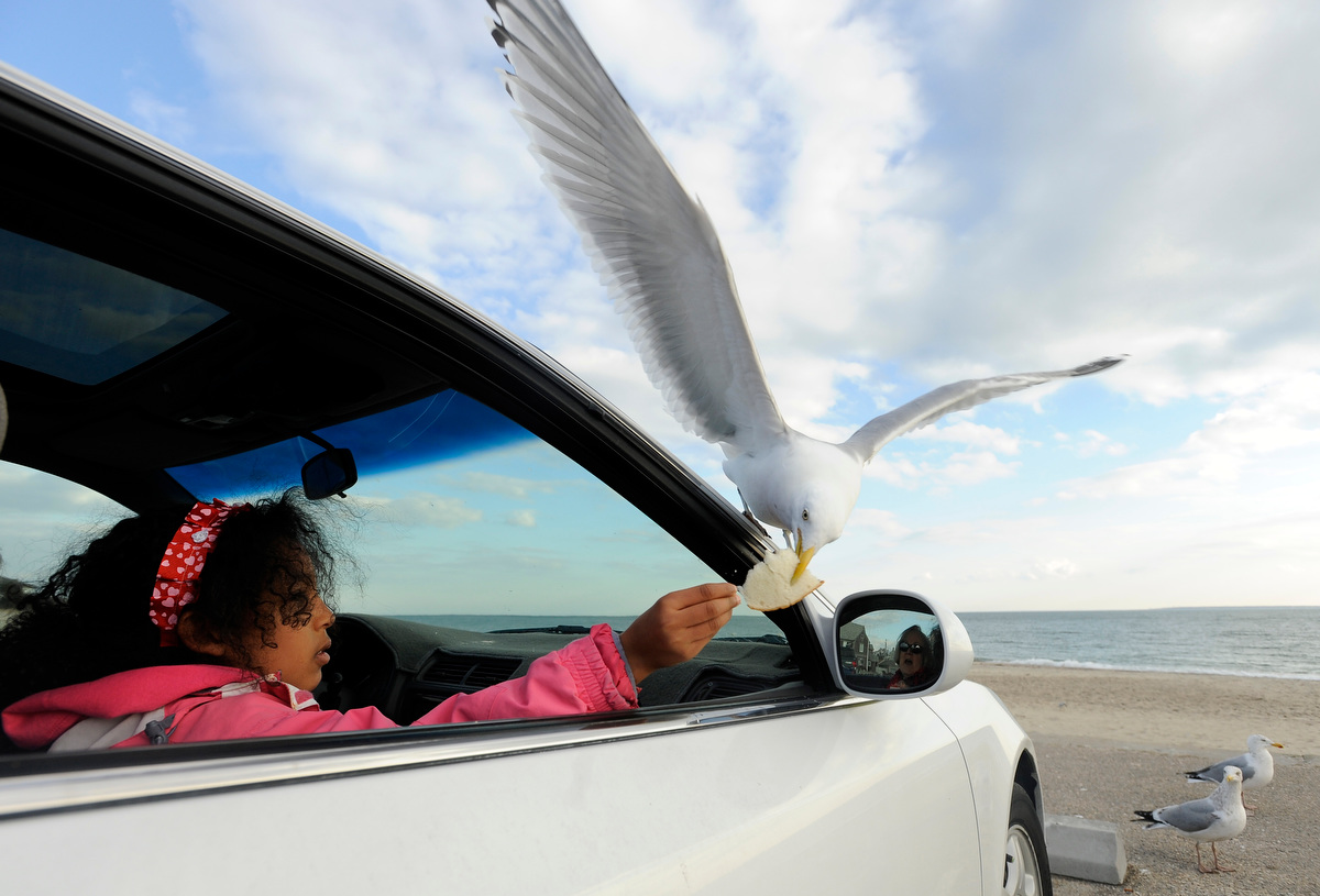 Grace Nelson, 7, of Bourne watches as a seagull snatches a piece of bread right from her hand at the Falmouth Heights Beach parking lot.