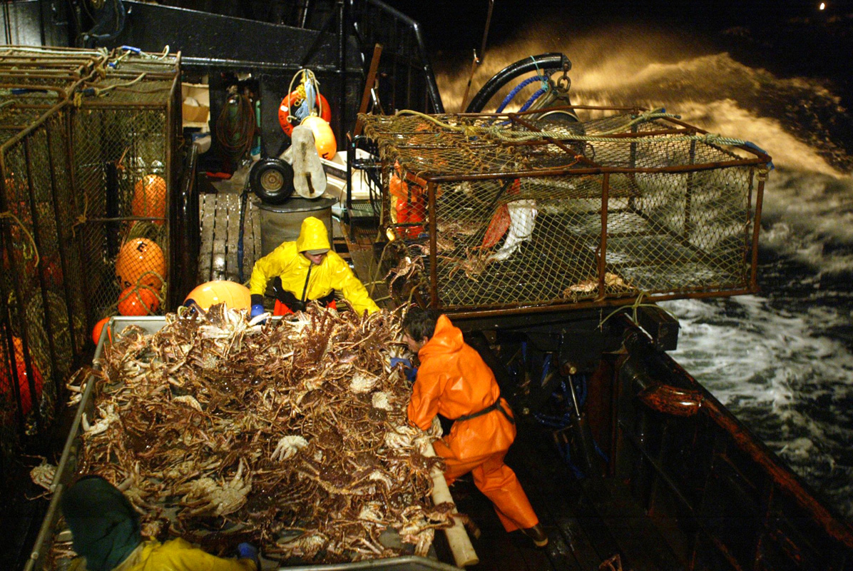 A pot of red king crab is dumped onto the sorting table of the F/V Exito where the crew will begin sorting out the legal sized males, 6.5 inches or larger. Thos crab are then tossed into one of 3 large tanks below deck filled with seawater and kept alive until the boat returns to Dutch Harbor, AK where they will be processed. On a pot this size which had about 60 {quote}keepers{quote}, the crew estimates that a fullcrewshare guy would make about $100 per pot or a $1,000 per hour (at the pace of 10 pots per hour). The bonanza lasted about 2 hours before the pots started coming up less full. The smaller crab, which are juveniles and females, are tossed back into the sea, a regulation dictated by the Alaska Department of Fish & Game to preserve future stocks. This year's ADFG forecast of 14.7 million pounds was the largest projected harvest of Bristol Bay red king crab in 12 years. It will be several weeks before crabbers know if that harvest was met. The season lasted 5 days and 2 hours and was plagued with gale force winds of 35 knots or higher almost everyday. © copyright Karen Ducey