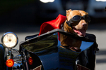 Brande Schweitzer and her pit bull mix, Lucy, from Seattle, ride through Seattle on their motorcycle on July 27, 2014. (© copyright Karen Ducey/ Animal News Northwest)