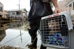 A cat rescued from a house at 316 S Alexander St., New Orleans, looks out of his {quote}Pet Taxi{quote} as he is carried through the flooded streets of New orleans by an animal rescuer from Pasado's Safe Haven.  © Karen Ducey