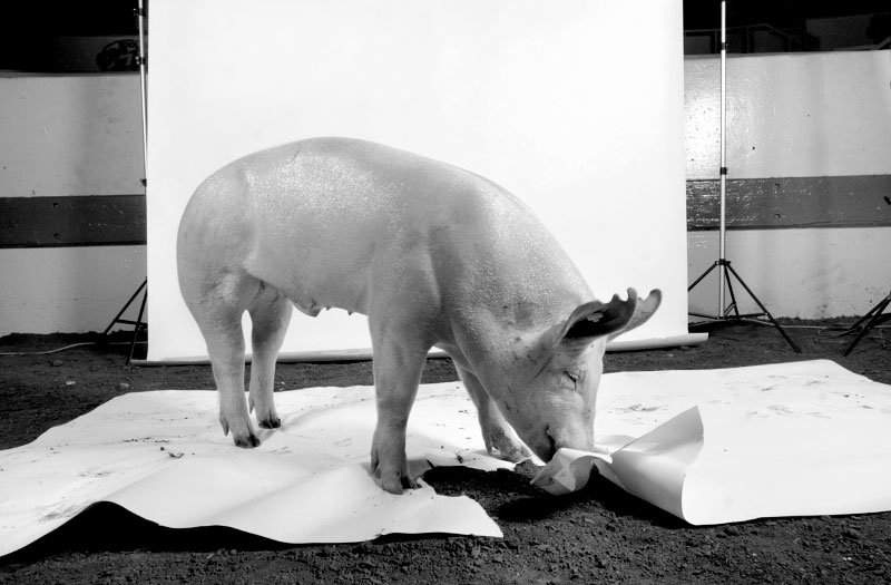 THIS IS NO PIGNIC.   {quote}Rocket{quote}, the Indiana State Fair Grand Champion Market Barrow who likes to eat marshmellows and Lucky Charms eats the set during his photo shoot.  The 264 pound, 8 month old pig raised by Jamey Albrecht of Crawfordsville, IN sold for $10,000 at the 4H Sale of Champions and will go towards Jamey's college education where she wants to be on a livestock judging team. (© Karen Ducey/Indianapolis Star)
