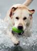 A labrador dog fetches a ball. (© copyright Karen Ducey)