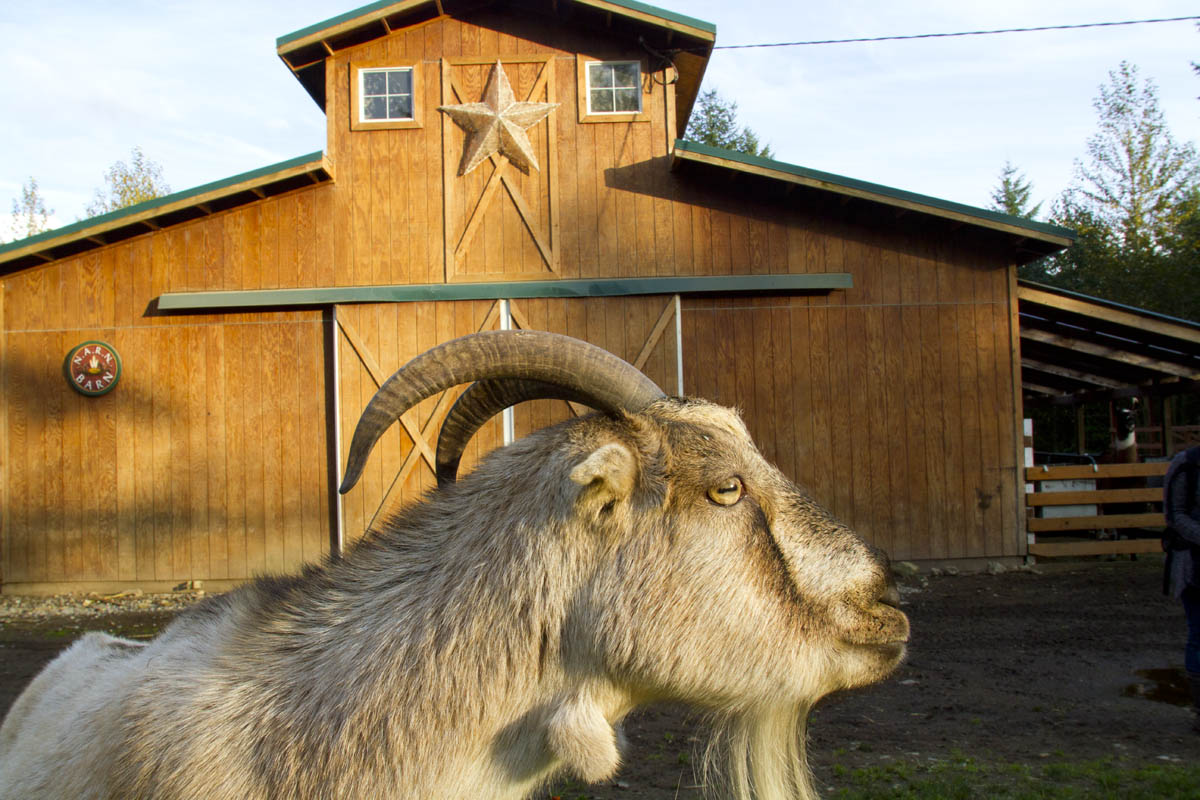 A goat at Pasados Safe haven in Sultan, WA. (© copyright Karen Ducey)