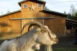 A goat at Pasados Safe haven in Sultan, WA. (© copyright Karen Ducey)