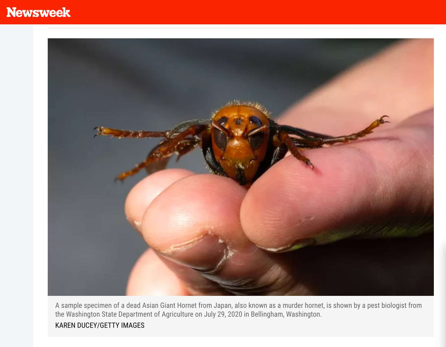 Officials Caught a Murder Hornet and This Is What it Looks Like Up Close, for Getty Images, Published in Newsweek, August 18, 2020.