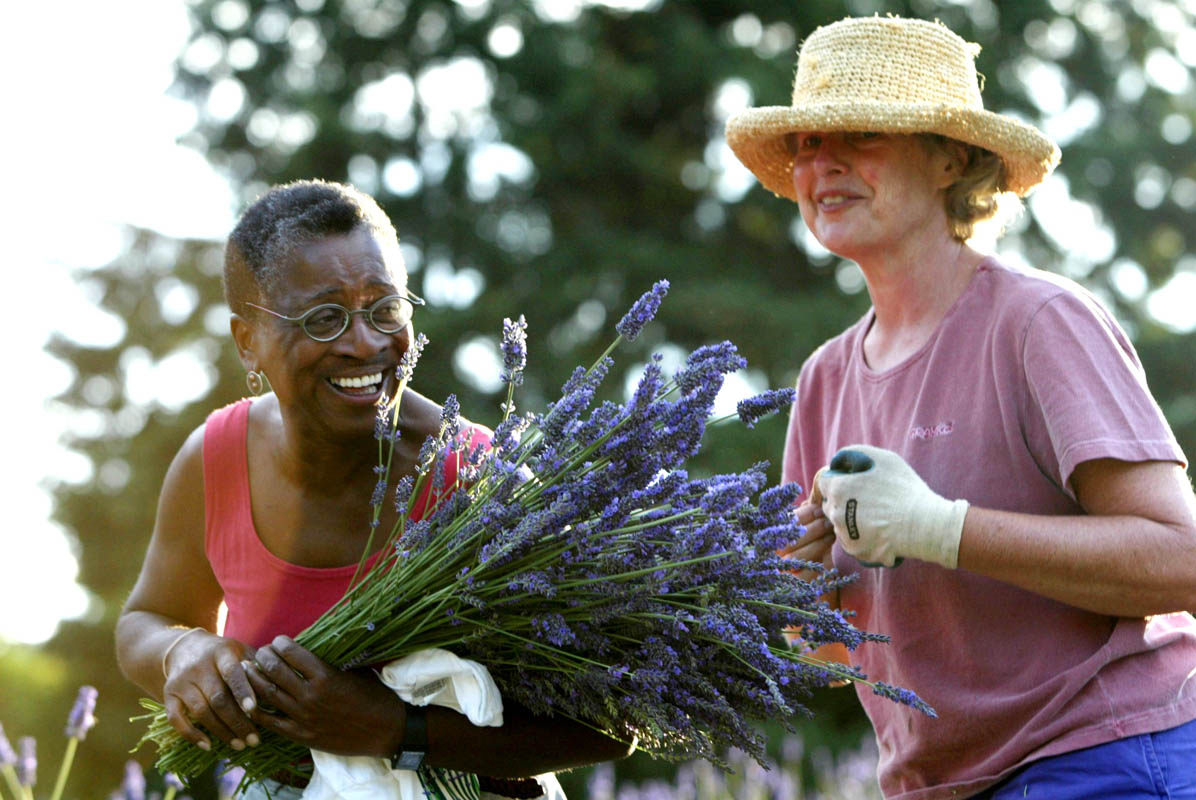 Lavendar gardeners in Sequim. (© copyright Karen Ducey)
