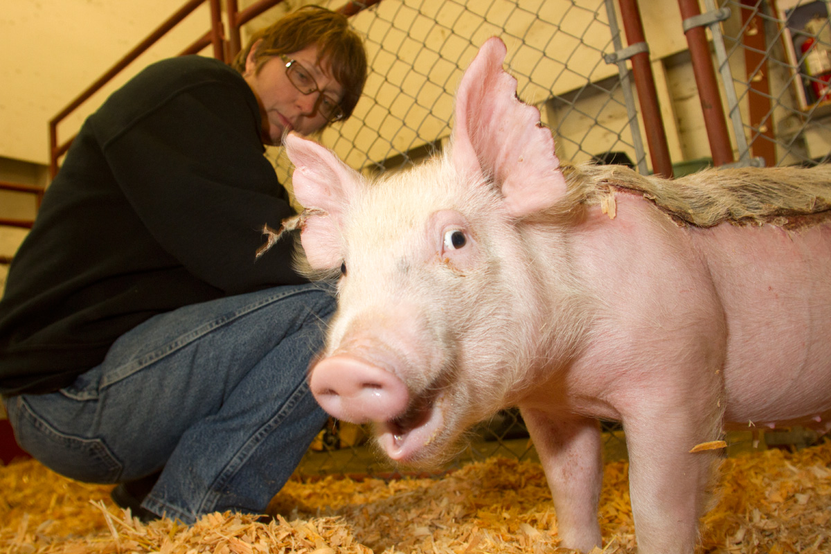Tom, a Yorkshire piglet who was injured in a barn fire at the Washington State Fairgrounds several weeks ago, is fed marshmallows injected with antibiotics and anti-inflammatory medicine at the fairgrounds in Puyallup by Susan Becker on May 5, 2014.  Tom was badly burned along his back and ears.  It has developed into a large scab.  Becker is co-superintendent of the Traveling Farm and cares for Tom and other animals in the barn. Once healed Tom will be returned to his owner, Kyler Young, who is using him as a breeding boar at his families' farm, Proverty Hill Farm.  The farm has over 600 pigs on it which they sell to 4-H kids.  Tom originally came from a farm in Anacortes.  The Young's paid hundreds of dollars for him. Becker says the fire fighters worked really hard to keep the animals alive. (© copyright Karen Ducey)