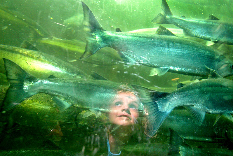 Ayiana Betts watches sockeye salmon swim up a fish ladder through the Chittenden Locks in Seattle during their seasonal migration.  her grandmother, Carolyn Gustafson brought her here to prove that fish really exist.  She says that every Sunday they accompany Bett's great grandfather out fishing but he never catches anything.   (© Karen Ducey/ Seattle PI)