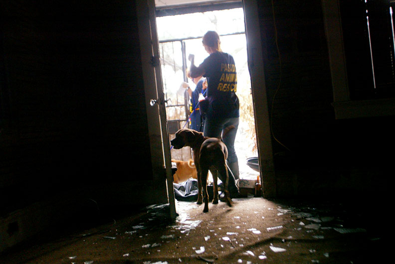 A volunteer from Pasado's safe haven leads a dog who had been locked and abandoned in his home two weeks after Hurricane Katrina struck. (© copyright Karen Ducey)