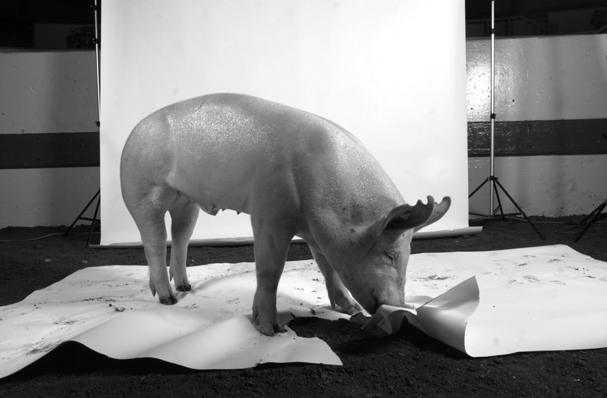 A first place pig eats the set during a photo shoot at the Indiana State Fair. (© copyright Karen Ducey)