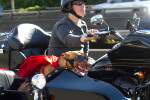 Pit bull mix, Lucy, rides in a sidecar next to her mom, Brande Schweitzer, who drives a Harley-Davidson, in Seattle, Washington. Schweitzer and her dog attract attention wherever they go. (© copyright Karen Ducey)