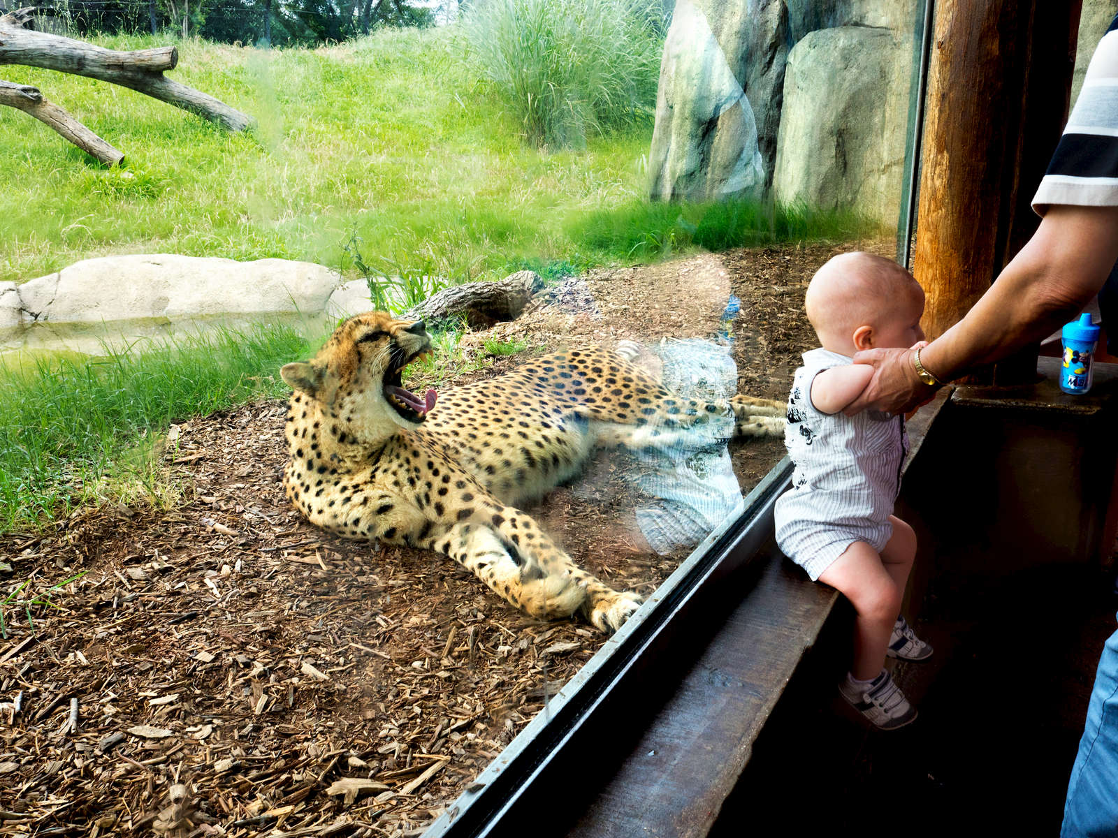 A cheetah yawns at a baby visiting Dallas Zoo.Dallas Zoo is a 106-acre zoo located 3 miles south of downtown Dallas, in Marsalis Park. Established in 1888, it is the oldest and largest zoological park in Texas and is managed by the non-profit Dallas Zoological Society.Dallas is a major city in Texas and is the largest urban center of the fourth most populous metropolitan area in the United States. The city ranks ninth in the U.S. and third in Texas after Houston and San Antonio. The city's prominence arose from its historical importance as a center for the oil and cotton industries, and its position along numerous railroad lines.For two weeks in the summer of 2015, photographer Peter Dench visited Dallas to document the metroplex in his epic reportage, DENCH DOES DALLAS.Photographed using an Olympus E-M5 Mark II©Peter Dench/Getty Images Reportage