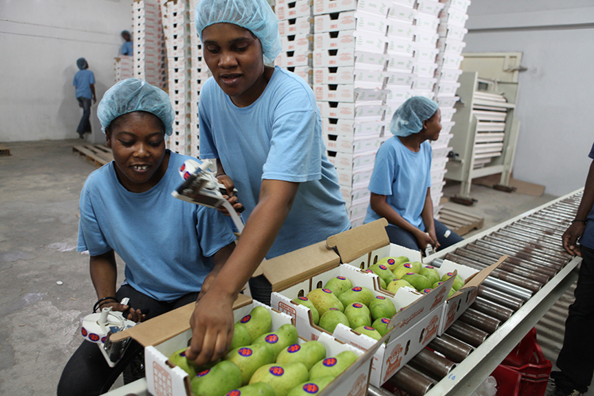 Francique mangos are inspected for imperfections at Ralph Perry Import and Export in Port-au-Prince, one of Haiti's packing houses. Mangos are carefully inspected and them stamped by a USDA agent.