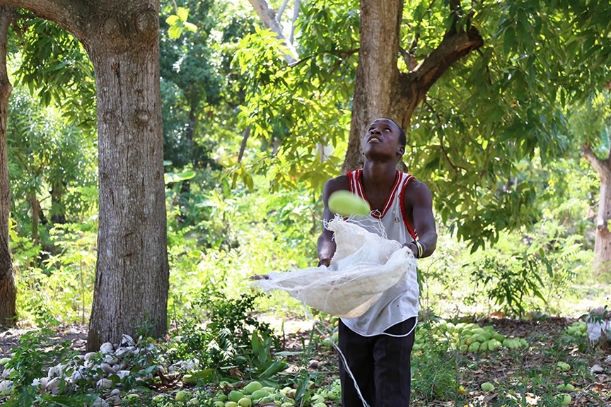 """Name: Alex AugustinAge: 19Place: Mapou-Rolin, Pass Reine Organization/Farm name:Amount of time: 3 yearsFair Trade Committee: Selule Cuive Vivan""""I am thankful to be hired by Mr. and Mrs. Vergila every year for catching the mangos. One day I hope I can run my own mango business and help my family, neighbors and community. The community depends on the selling of mangos, so I know how important it is and I hope to grow into a successful business man selling good organic mangos."""""""