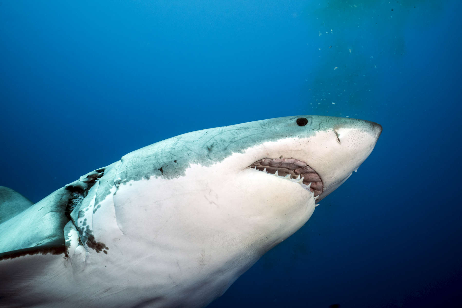 Isla Guadalupe, Mexico - November 11, 2015: A female great white, wounded during a violent mating session, swims past. The isolated waters off the coast of the volcanic Mexican Island of Isla Guadalupe, long a destination for fur hunters and sports fishermen, has long attracted a seasonal migration of great white sharks. The presence of a population of sharks is so consistent that in recent years the island has become a mecca for shark diving tourism.(Photograph by Benjamin Lowy for The New York Times)