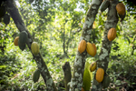 Cocoa fruit grows in clusters on trees in a plantation in Assin, Ghana.