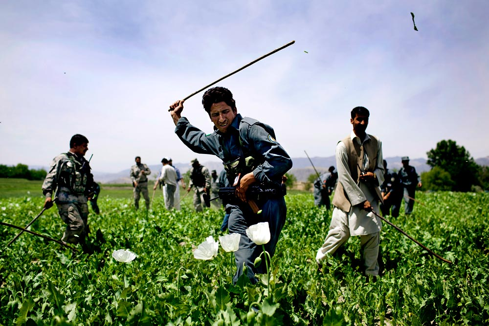 Afghan police and provincial security forces destroy poppy fields in Nangarhar province. Though the government and foreign contractors have eradicated thousand and thousands of acres of poppy fields, that hasn't stemmed the flow of drug money to the Taliban.