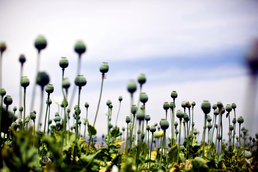 An Afghan poppy field with mature, ready-to-harest opium producing buds.