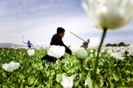 Afghan police and provincial security force farmers to their own destroy poppy fields in Nangarhar province.