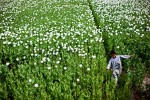 An Afghan boy wanders through a field of poppies. In 2007, Afghan farmers harvested a record 8,200 metric tons of poppies, much of which wound up as opium. What draws farmers to the black market? In some years, poppy farmers earned six times Afghanistan's per capita income.