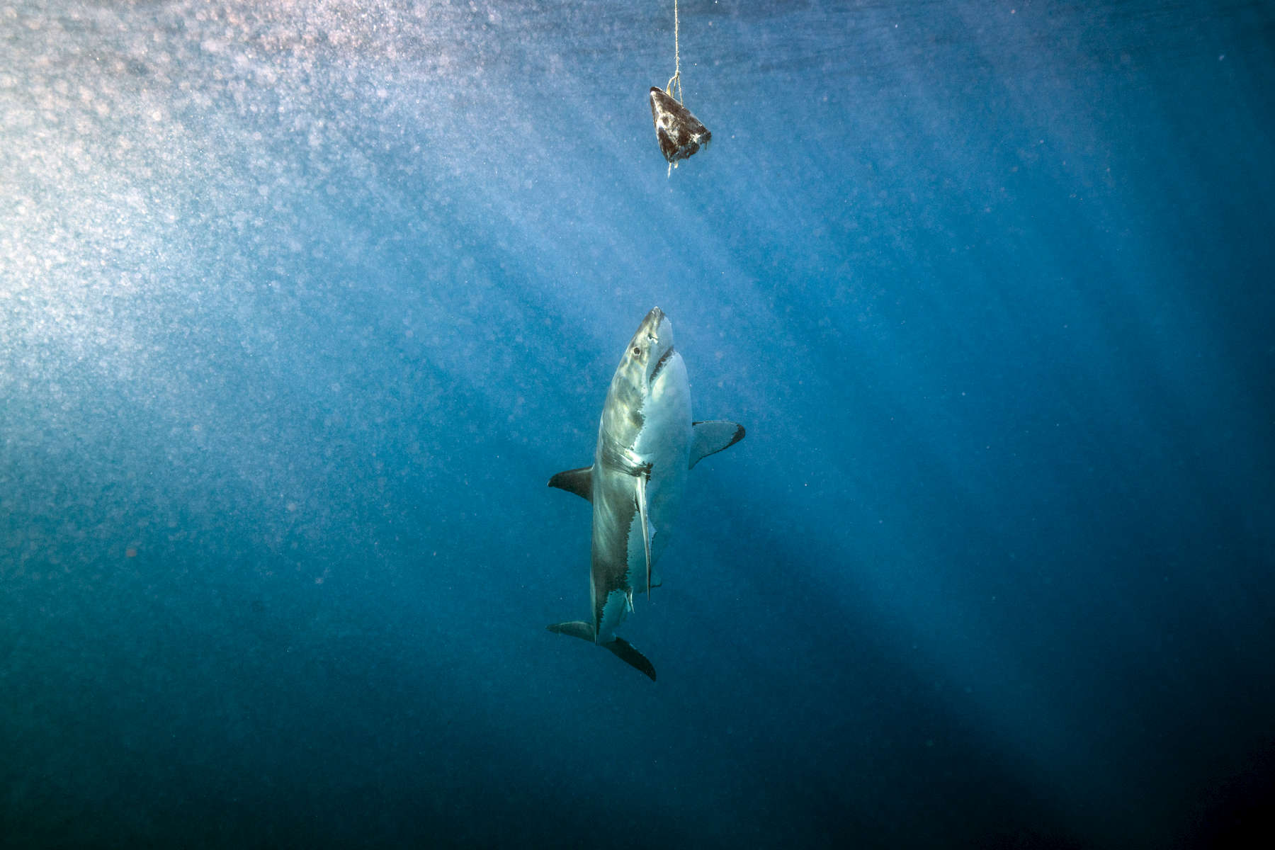 Isla Guadalupe, Mexico - November 12, 2015: A carcharodon carcharias, more commonly and infamously known as a great white shark, inspects bait hanging along the surface waters off the isolated volcanic Mexican Island of Isla Guadalupe. The island, long a destination for fur hunters and sports fishermen has large population of elephant seals, which in turn attracts a seasonal migration of great white sharks. The presence of a population of sharks is so consistent that in recent years the island has become a mecca for shark diving tourism.(Photograph by Benjamin Lowy for The New York Times)