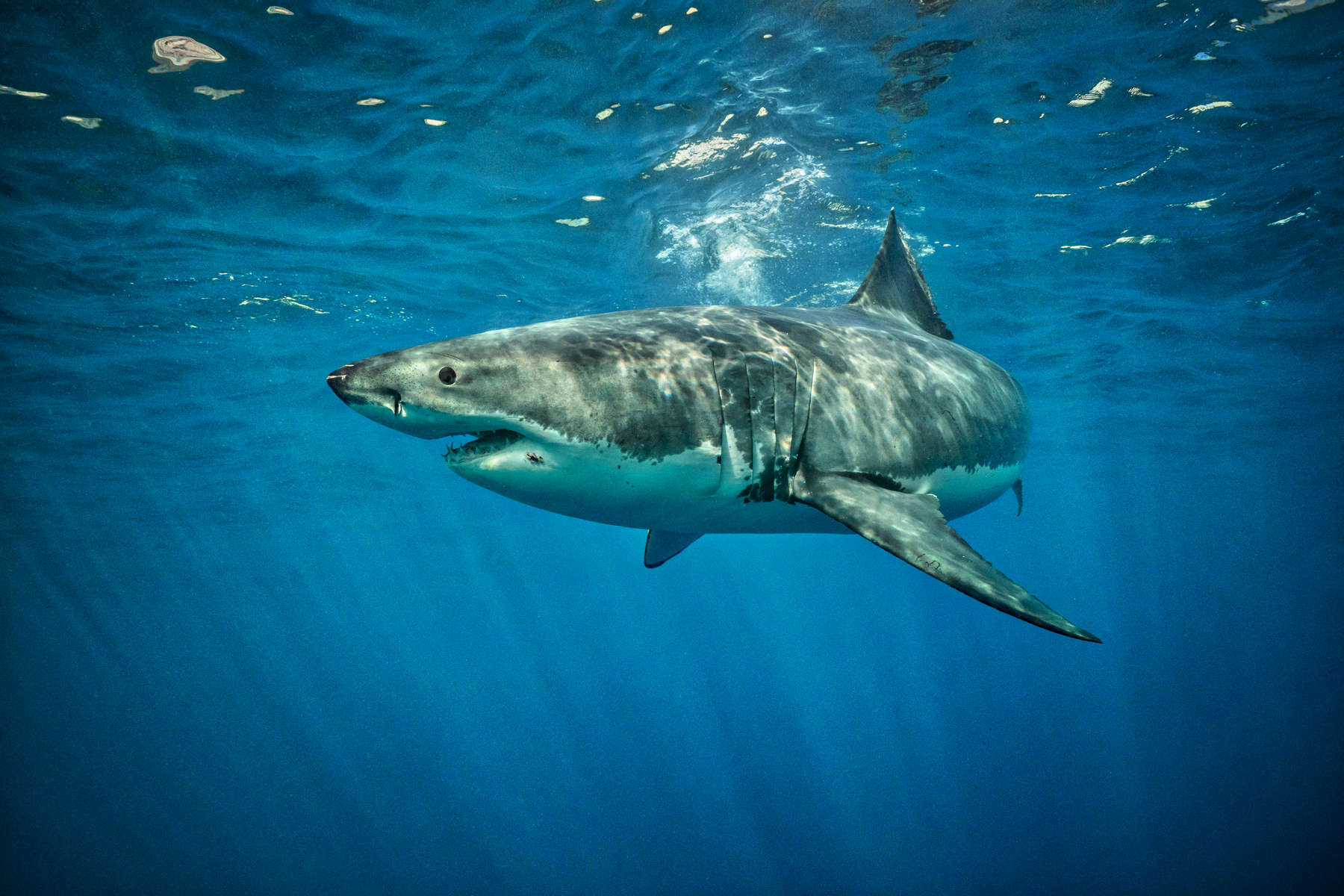 Isla Guadalupe, Mexico - November 12, 2015: A carcharodon carcharias, more commonly and infamously known as a great white shark, swims along the surface waters off the isolated volcanic Mexican Island of Isla Guadalupe. The island, long a destination for fur hunters and sports fishermen has large population of elephant seals, which in turn attracts a seasonal migration of great white sharks. The presence of a population of sharks is so consistent that in recent years the island has become a mecca for shark diving tourism.(Photograph by Benjamin Lowy for The New York Times)
