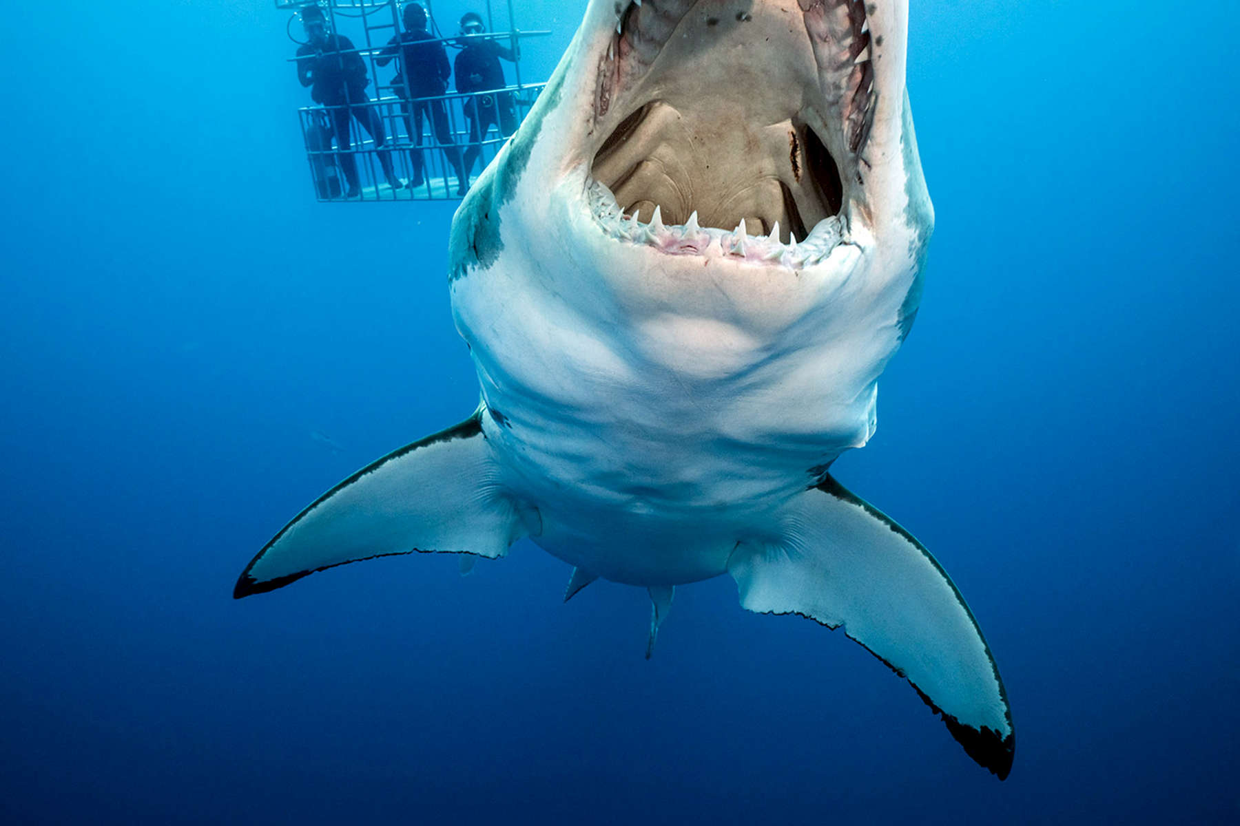 Isla Guadalupe, Mexico - November 11, 2015: A female great white shark inspects a piece of hanging bait as she swims past several dive cages. In other dive locations around the world, many tour operators {quote}chum{quote} the water, spilling blood and fresh food into the sea, hoping to start a shark feeding frenzy. Most if not all of the operators working within the waters of Isla Guadalupe have taken a different tack. As the eco-tourism market has grown, so has the goal of not habituating sharks to human presence. While tourists and divers want to get close to the great white, the goal is not to have the sharks see people and each boat as a source of food. That could lead to dangerous incidents. Rather the frozen tuna {quote}bait{quote} is merely hung, enticing the shark's interest and curiosity, but not enough to feed these massive predators. (Photograph by Benjamin Lowy for The New York Times)
