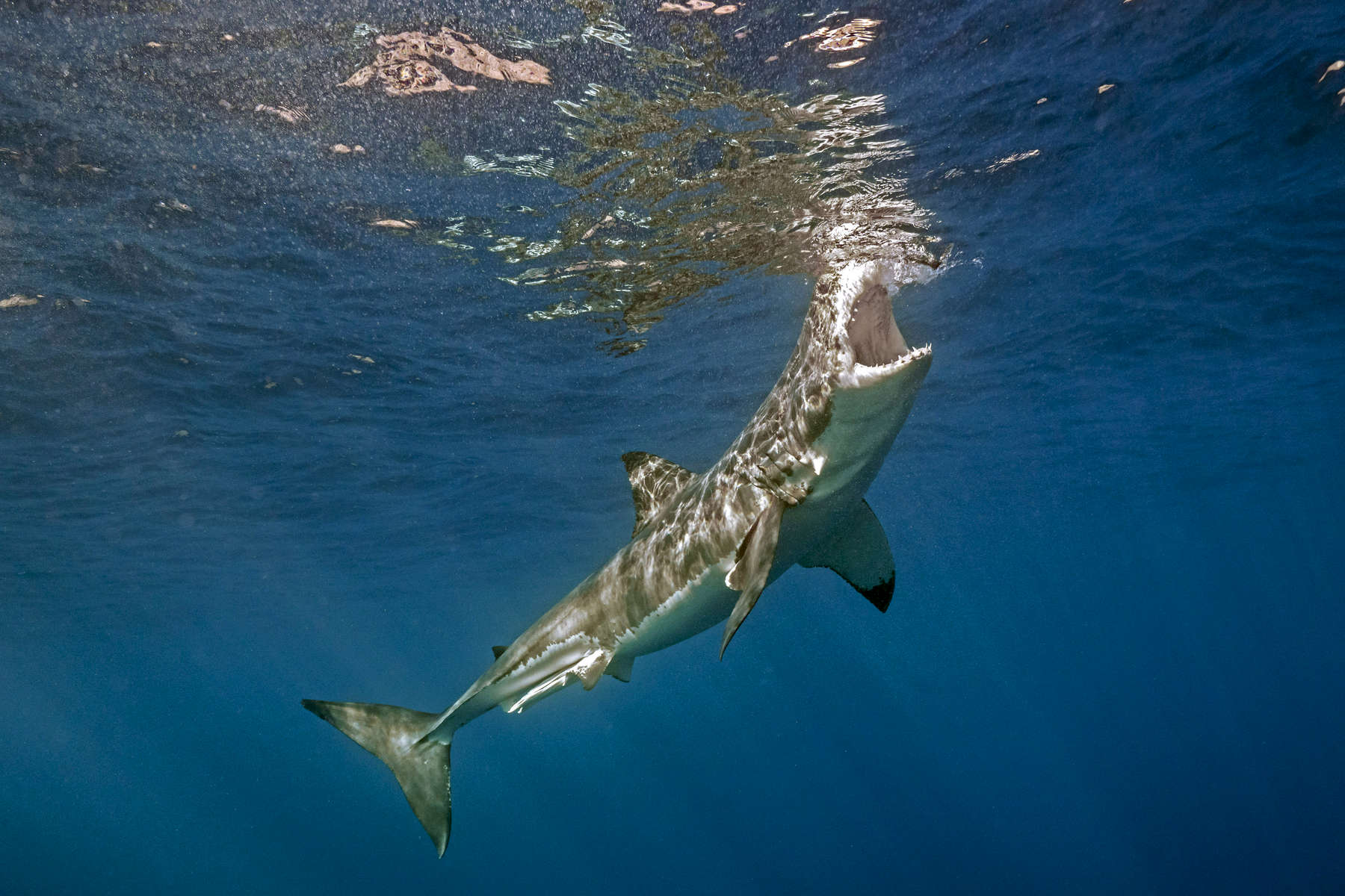 Isla Guadalupe, Mexico - November 12, 2015: A carcharodon carcharias, more commonly and infamously known as a great white shark, tries to take a bite out of some tuna bait hanging along the surface waters off the isolated volcanic Mexican Island of Isla Guadalupe. The island, long a destination for fur hunters and sports fishermen has large population of elephant seals, which in turn attracts a seasonal migration of great white sharks. The presence of a population of sharks is so consistent that in recent years the island has become a mecca for shark diving tourism.(Photograph by Benjamin Lowy for The New York Times)