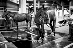 LOS ANGELES, CA - SEPTEMBER 25: Padded carpet is added to the slippery concrete of the underground parking structure so horses don't slip -- especially during bath time, which happens often for these horses.