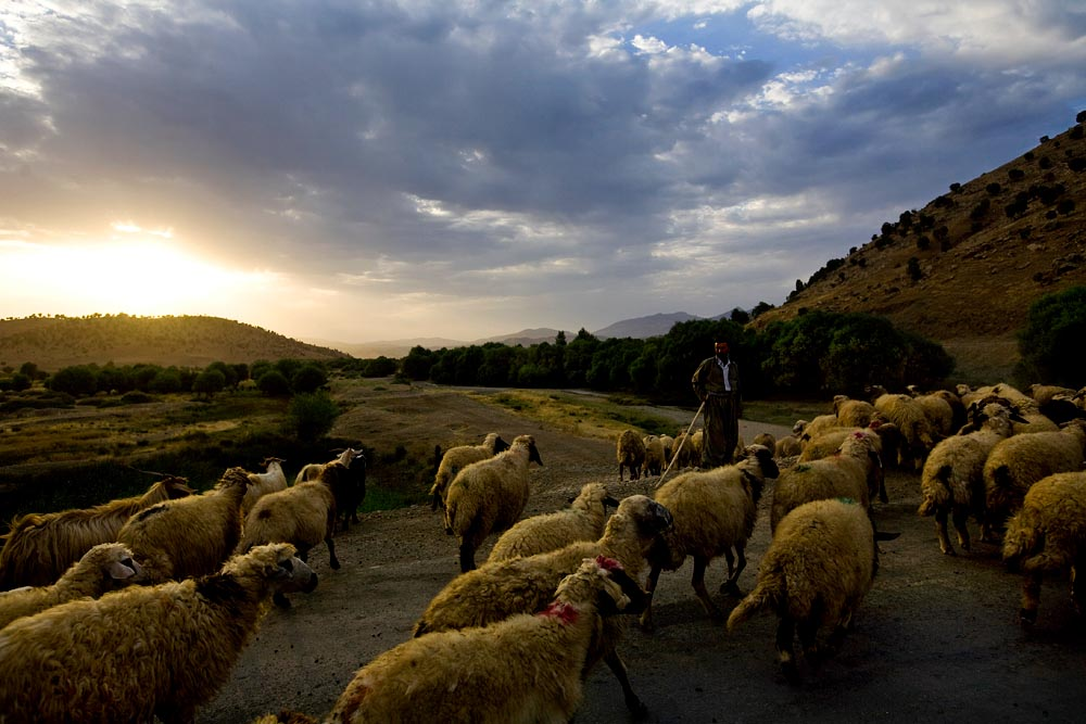 A shepard tends to his animals along the Iran Iraq border.