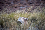 TORRE DEL PAINE, CHILE - MARCH 8: Adult (Photograph by Benjamin Lowy)