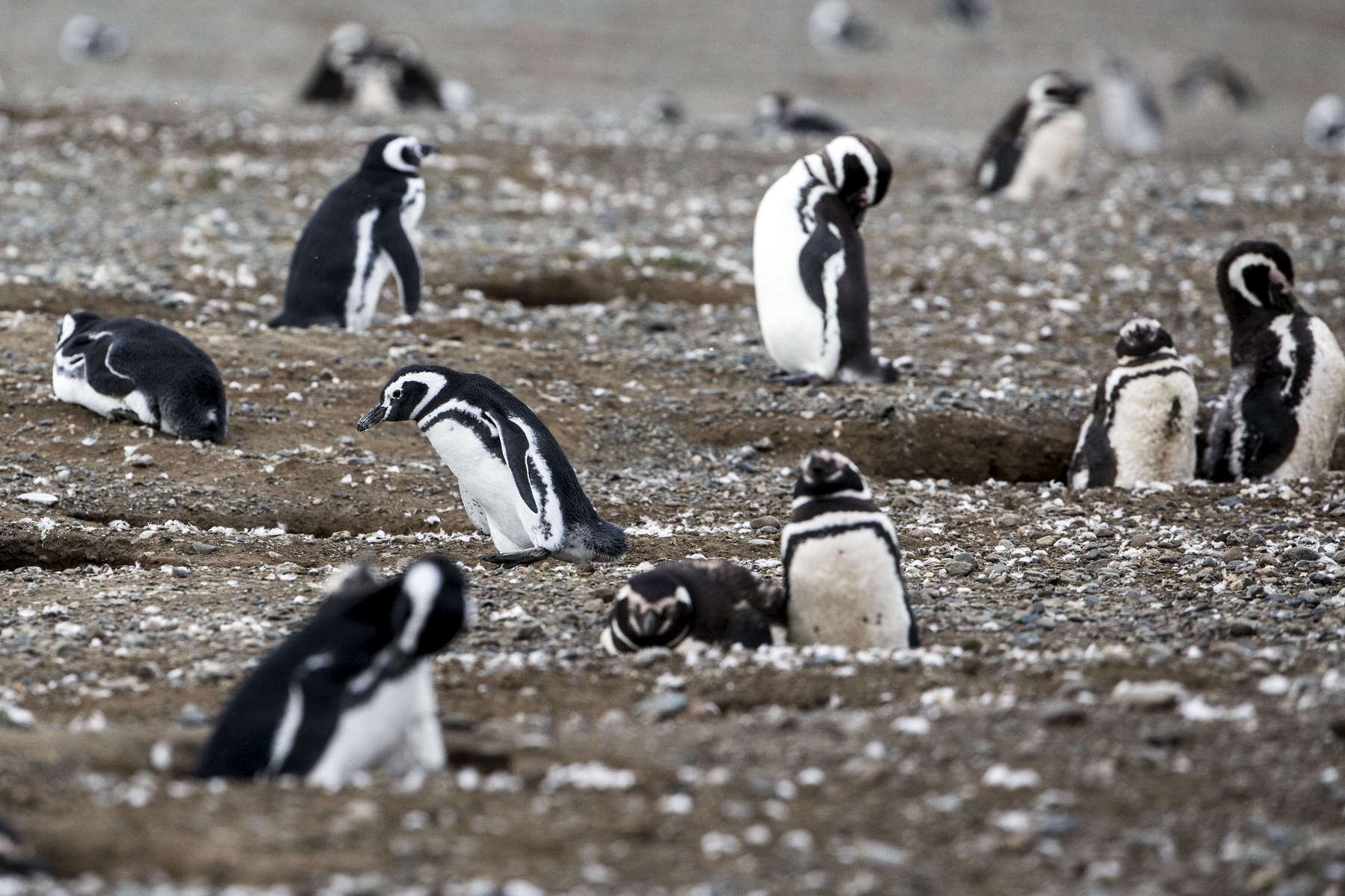MAGDALLENA ISLAND, CHILE - MARCH 12: Adult Magellan penguins, their offspring have already migrated, await the proper conditions to leave their small summer home of the winter months. (Photograph by Benjamin Lowy)