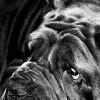 Neopalitan Mastiff